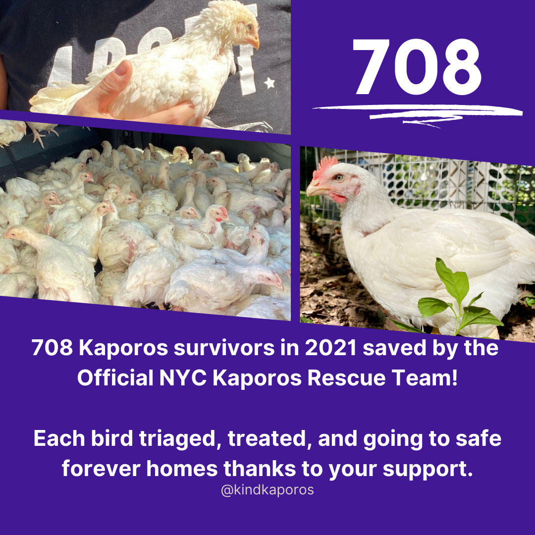 708 Kaporos survivors in 2021 saved by the official NYC Kaporos Rescue Team! Each bird triaged, treated, and going to safe forever homes thanks to your support. @kindkaporos