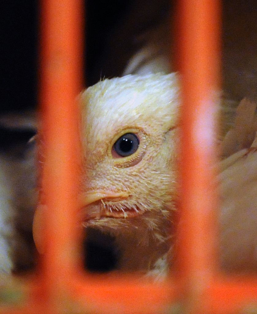 Broiler chickens that are about 5 or 6 weeks old and still have the blue eyes of young chicks, are packed in crates awaiting the Kaporos ceremony. Animal advocates are concerned that the crated birds spend the night with no food, water or veterinary supervision, experiencing fear and pain.