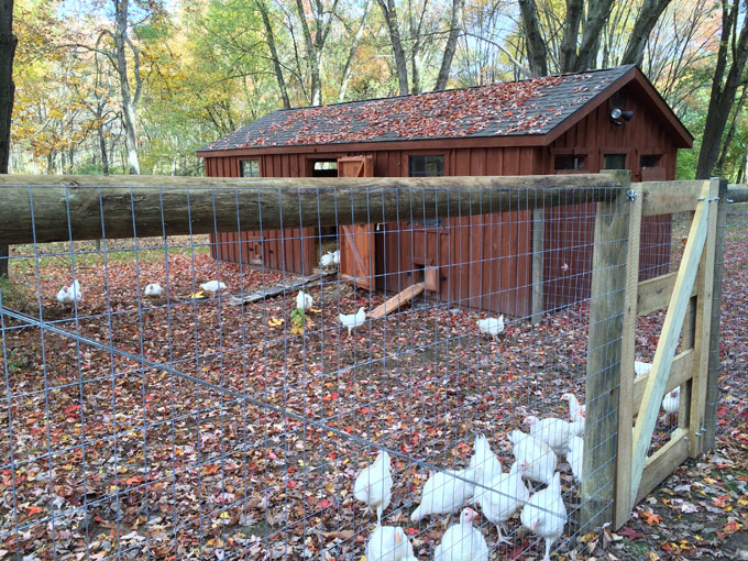 Rescued Kaporos Chickens at Tamerlaine Farm Animal Sanctuary